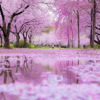 C'est la période de l' « Hanami » au Japon. Début avril, tous les cerisiers du pays sont quasiment en fleurs et offrent un spectacle haut en couleurs. La beauté de l'éphémère <3 . . 📷 @godive2000 . . #Voyage #Vacances #decouvertes #ToulonVousOuvreLeMonde  #instatraveling #Asia #Japon #Japan #cherry #cherryblossom #hanami #flowers #paradise #heaven #kyoto #travel #photography
